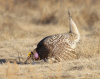 Sharp Tailed Grouse #1